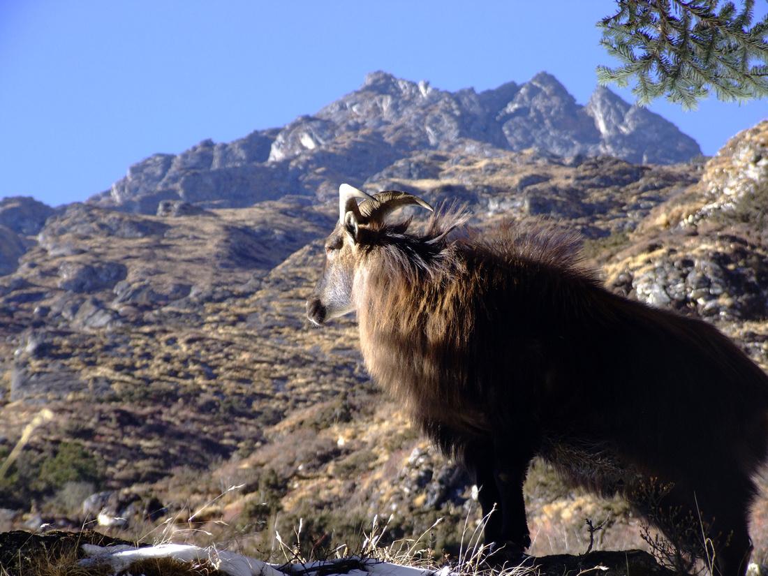 Himalayan Tahr