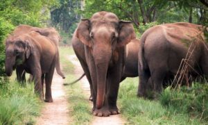 Asiatic elephants